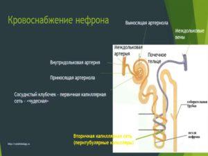 Выносящая артериола почки
