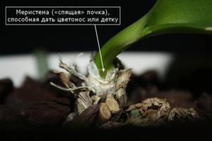 Орхидея на корнях почки