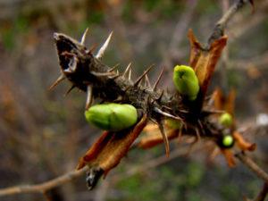 Интересное о почках растений