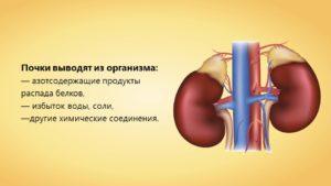 Почки выводят из организма вредные вещества