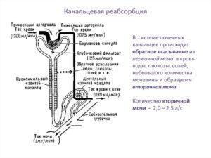 Реабсорбция в почках физиология