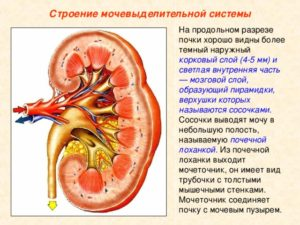 Паренхиматозный слой почки ниже нормы