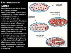 Что значит эпителиальные клетки