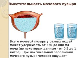 Сколько вмещает мочевой пузырь взрослого человека