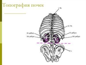 Расположение почек человека рисунок