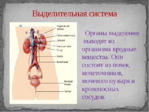Органы относящиеся к выделительной системе