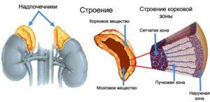 Анатомия надпочечников человека