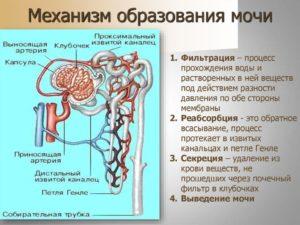 Последовательность образования и выведения мочи в организме человека
