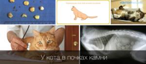 Камни в почках у кота симптомы и лечение