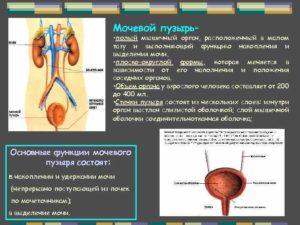 Функции мочевого пузыря человека