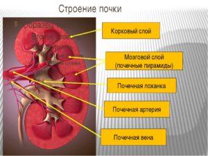 Корковый слой почки