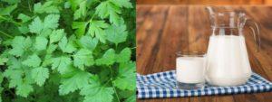 Петрушка с молоком от водянки