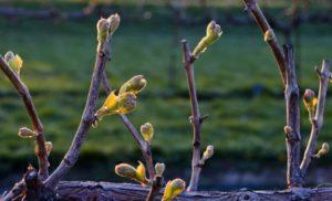 Как разбудить почки на винограде