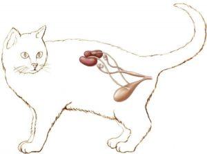 Расположение почек у кошки топография
