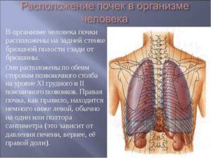 Местонахождение почек в организме человека