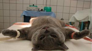Операция коту при мочекаменной болезни