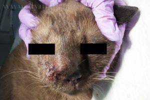 Неоплазия почек у кошек