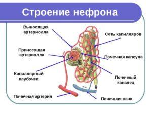 В состав нефрона входит