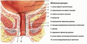 Строение уретры у женщин